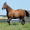 Caption: <br /> Pepper's Pride in foal to Distorted Humor at Taylor Made Farm near Nicholasville, Ky. on Sept. 2, 2010.<br /> PeppersPride image388<br /> Photo by Anne M. Eberhardt