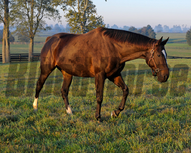 Caption: Zenyatta at Lane's End Farm, early morning on Oct. 5, 2011, near Versailles, Ky.<br /> Origs2 image390<br /> Photo by Anne M. Eberhardt