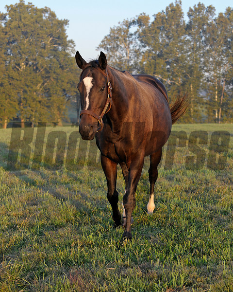 Caption: Zenyatta at Lane's End Farm, early morning on Oct. 5, 2011, near Versailles, Ky.<br /> Origs2 image375<br /> Photo by Anne M. Eberhardt