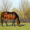 Caption: Silverbulletday<br /> Mares at Hill 'n' Dale Farm near Lexington, Ky. on April 13, 2011.<br /> HillnDale1 image997<br /> Photo by Anne M. Eberhardt