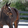 Caption: <br /> Zenyatta goes out to her paddock on December 20, 2010, at Lane's End Farm near Versailles, Ky.<br /> ZenyattaDec2010 Origs 1 image409<br /> Photo by Anne M. Eberhardt