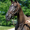 Caption: Sweet Life, 2009 Broodmare of the Year. In foal to Street Cry, Sweet Life is the dam of champion Sweet Catomine and 2009 Breeders' Cup Ladies' Classic winner Life Is Sweet. <br /> Charles Campbell handles Sweet Life at Lane's End near Versailles, Ky. on Aug. 17, 2010.<br /> image 930<br /> Photo by Anne M. Eberhardt