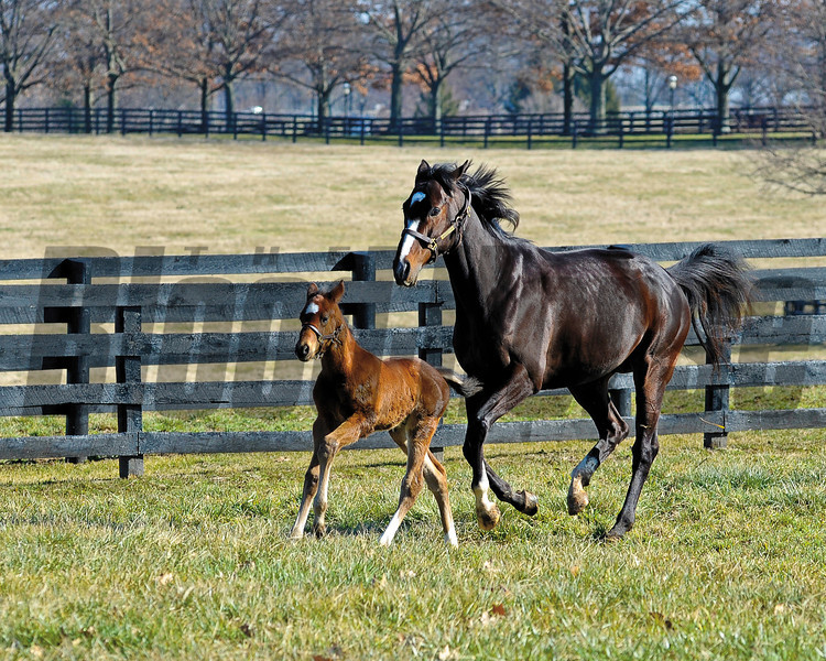 Rachel Alexandra with her first foal, a colt by Curlin born on Jan. 22, at Stonestreet Farm near Lexington, Ky. photographed on Feb. 17, 2012.<br /> RachelAlexandra Origs3 image210<br /> Photo by Anne M. Eberhardt