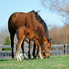Caption: staying close to mom and trying out the grass, like mom<br /> Lotta Kim produced a full sister to Rachel Alexandra on Feb. 27, 2011, at Dr. Dede McGehee's Heaven Trees Farm near Lexington, Ky. Photographed on March 12, 2011, the Medaglia d'Oro filly is owned by Dolph Morrison. for Throughthelensblog.com, Blood-Horse and bloodhorse.com<br /> LottaKim Origs1 image 45<br /> Photo by Anne M. Eberhardt