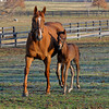 Caption: <br /> Dreaming of Anna and her 2011 colt by Medaglia d'Oro (born Feb. 21, 2011) at Dr. Gary Priest's Woodspring Farm near Versailles, Ky. on March 2, 2011.<br /> TTLBLOG photos Dreaming of Anna image790<br /> Photo by Anne M. Eberhardt
