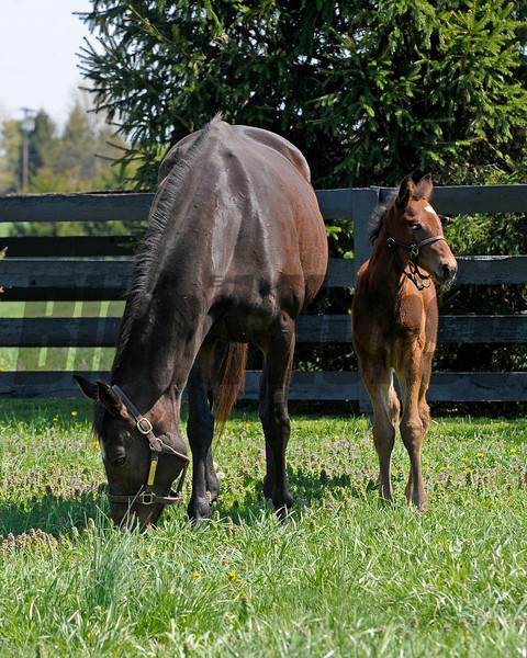 Caption: <br /> Vertigineux, dam of Zenyatta, Balance, and others with her 2011 Henrythenavigator filly born on April 2, 2011, at Ashford Stud near Versailles, Ky. Photographed on  on April 13, 2011.<br /> Vertigineux Image 870<br /> Photo by Anne M. Eberhardt