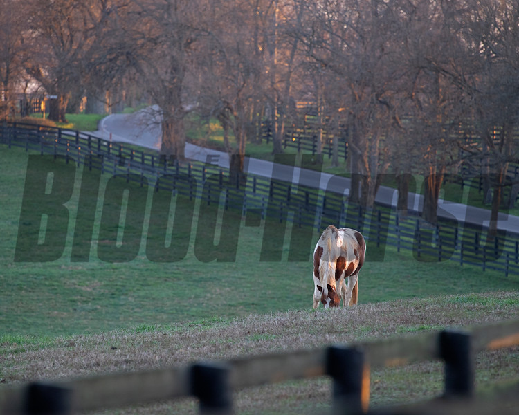 Paint horse grazing early morning on<br /> March 26, 2020  in Versailles, KY.