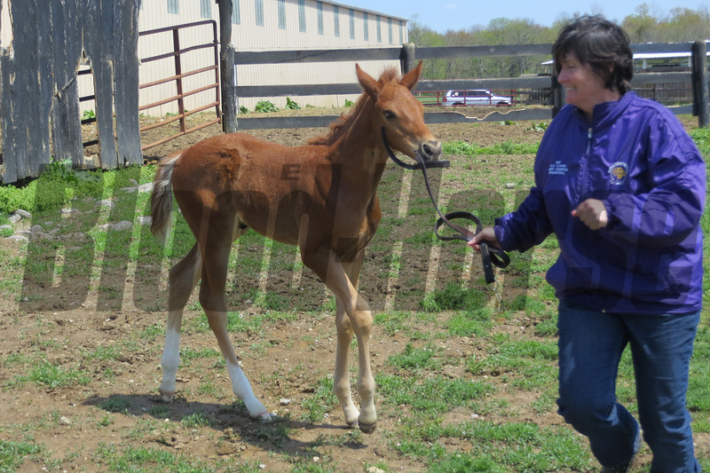 Kim Bradley also likes to interact with the foals.<br /> Steve Haskin Photo