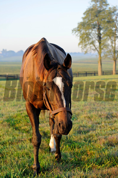Caption: looking up from grazing: Zenyatta at Lane's End Farm, early morning on Oct. 5, 2011, near Versailles, Ky.<br /> Origs1 image275<br /> Photo by Anne M. Eberhardt