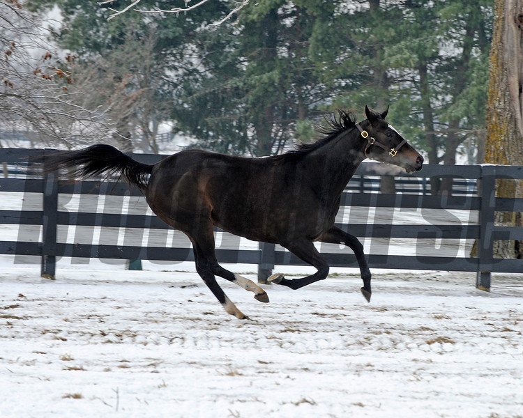 Caption: <br /> Zenyatta goes out to her paddock on December 20, 2010, at Lane's End Farm near Versailles, Ky.<br /> ZenyattaDec2010 Origs 3 image495<br /> Photo by Anne M. Eberhardt
