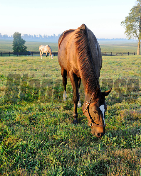 Caption: Zenyatta at Lane's End Farm, early morning on Oct. 5, 2011, near Versailles, Ky. Field buddy Tasty Temptation in background.<br /> Origs1 image271<br /> Photo by Anne M. Eberhardt