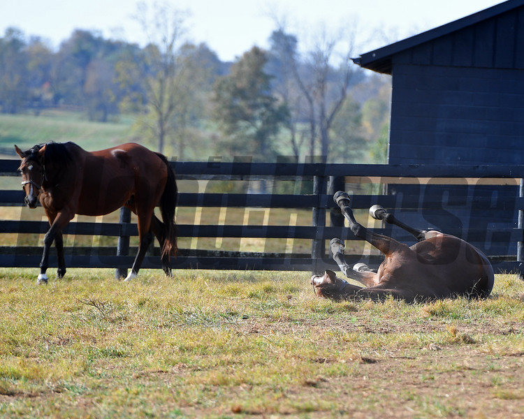 Ocean Goddess (in foal to Medaglia d'Oro) rolls as her paddock mate Belleski (left) looks on. Ocean Goddess is owned by the Nygaards and boarded at Chesapeake Farm near Lexington, Ky. on Oct. 19, 2016.