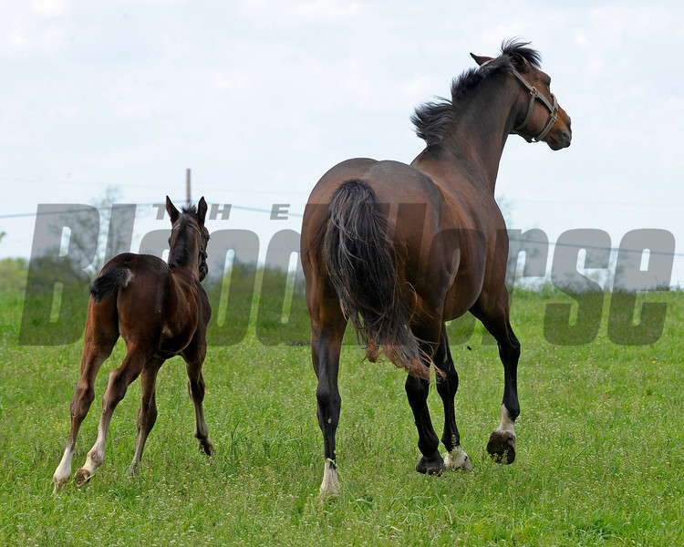 Caption: running out into their field-- Supercharger with her 2011 Tiznow colt born on March 30, 2011, at WinStar Farm near Versailles, Ky. <br /> Kentucky Derby and Kentucky Oaks contenders on the track at Churchill Downs near Louisville, Ky. on April 29, 2011<br /> KyDerbyWorks20114_29_11Works1  image560<br /> Photo by Anne M. Eberhardt