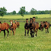 Caption: yearling fillies<br /> Yearlings on Helen Alexander's Spring Station Farm near Midway, Kentucky on May 31, 2005.<br /> AlexanderYrlgsOrigs1 image7<br /> Photo by Anne M. Eberhardt