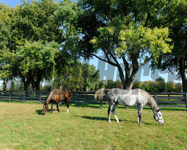Caption: Zenyatta at Lane's End Farm, mid afternoon on Oct. 5, 2011, near Versailles, Ky.<br /> Origs3 image309<br /> Photo by Anne M. Eberhardt