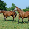 Caption: Lake Travis, left, and Lakeway <br /> Twilight Ridge, 1985 Breeders' Cup Juvenile Filly winner, is now 29 years old and resides at Mike Rutherford's Manchester Farm near Lexington, Ky. The mare was photographed on the farm on June 29, 2012.<br /> TwilightRidgeOrigs 2 image2038<br /> Anne M. Eberhardt photo