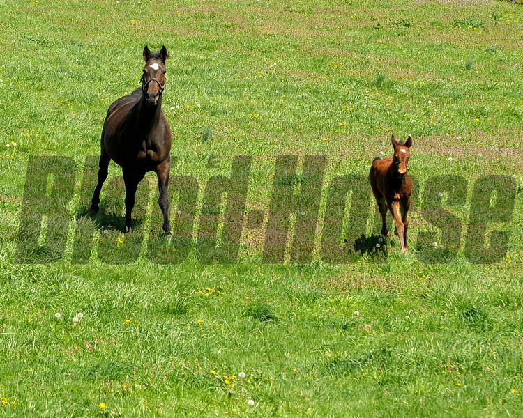 Caption: <br /> Vertigineux, dam of Zenyatta, Balance, and others with her 2011 Henrythenavigator filly born on April 2, 2011, at Ashford Stud near Versailles, Ky. Photographed on  on April 13, 2011.<br /> Vertigineux Image 831<br /> Photo by Anne M. Eberhardt