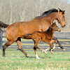 Caption: taking off together<br /> Lotta Kim produced a full sister to Rachel Alexandra on Feb. 27, 2011, at Dr. Dede McGehee's Heaven Trees Farm near Lexington, Ky. Photographed on March 12, 2011, the Medaglia d'Oro filly is owned by Dolph Morrison. for Throughthelensblog.com, Blood-Horse and bloodhorse.com<br /> LottaKim Origs1 image 987<br /> Photo by Anne M. Eberhardt