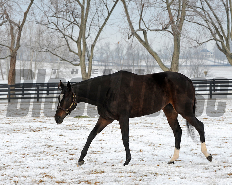Caption: <br /> Zenyatta goes out to her paddock on December 20, 2010, at Lane's End Farm near Versailles, Ky.<br /> ZenyattaDec2010 Origs 1 image352<br /> Photo by Anne M. Eberhardt