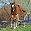 Caption: my marking on my forehead<br /> Lotta Kim produced a full sister to Rachel Alexandra on Feb. 27, 2011, at Dr. Dede McGehee's Heaven Trees Farm near Lexington, Ky. Photographed on March 12, 2011, the Medaglia d'Oro filly is owned by Dolph Morrison. for Throughthelensblog.com, Blood-Horse and bloodhorse.com<br /> LottaKim Origs1 image 6073<br /> Photo by Anne M. Eberhardt