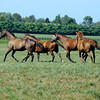 Caption: Sweet Life, in front, leads the way with other mares following the 2009 Broodmare of the Year. Sweet Life is the dam of champion Sweet Catomine and 2009 Breeders' Cup Ladies' Classic winner Life Is Sweet. <br /> Photographed at Lane's End near Versailles, Ky. on Aug. 17, 2010.<br /> image 9968<br /> Photo by Anne M. Eberhardt