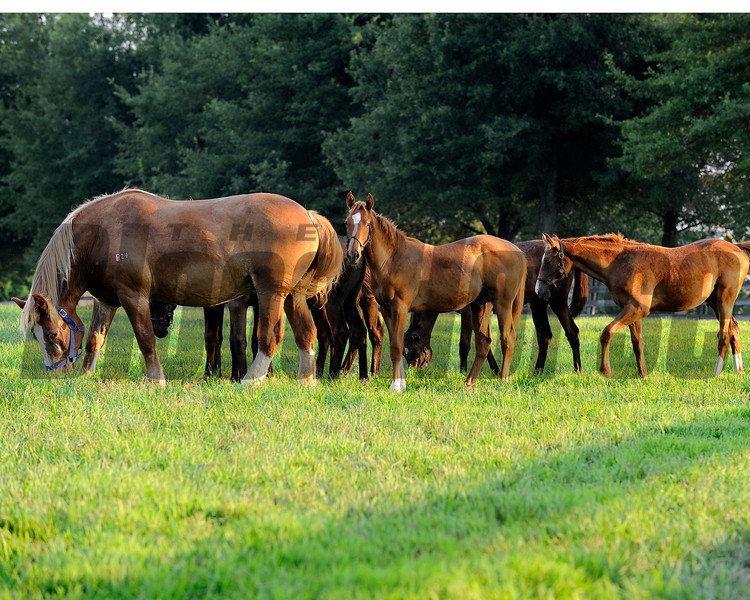 Caption: Draft nursemare with Thoroughbred weanlings<br /> Horse scenes at a Central Kentucky farm on August 4, 2010.<br /> Origs2 image220<br /> Photo by Anne M. Eberhardt