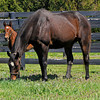 Caption: <br /> Vertigineux, dam of Zenyatta, Balance, and others with her 2011 Henrythenavigator filly born on April 2, 2011, at Ashford Stud near Versailles, Ky. Photographed on  on April 13, 2011.<br /> Vertigineux Image 866<br /> Photo by Anne M. Eberhardt
