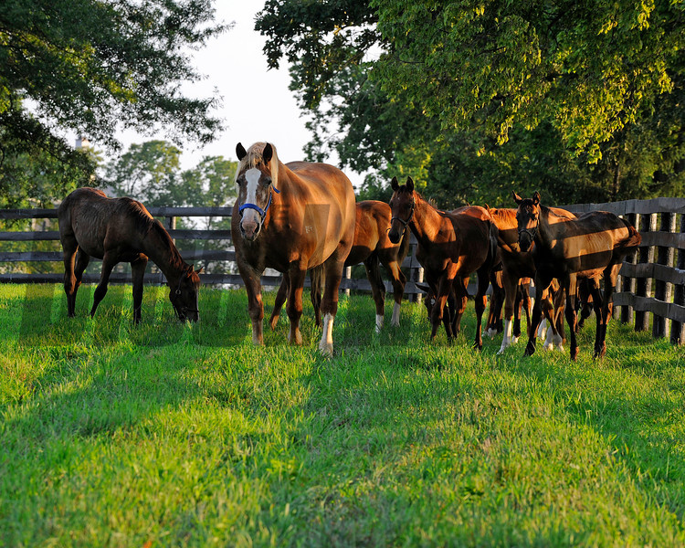 Caption: nursemare and weanlings<br /> Horse scenes at a Central Kentucky farm on August 4, 2010.<br /> Origs2 image209<br /> Photo by Anne M. Eberhardt