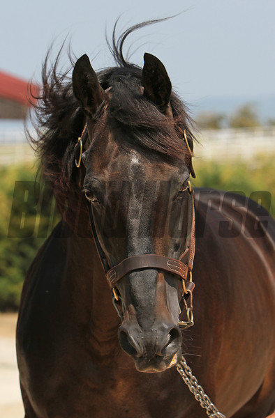 Sea Hero at the Karacabey Stud, Turkey, July 21, 2012<br /> Photo by Michele MacDonald