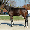 Caption: Hip 243 Samantha Nicole, filly by Medaglia d'Oro out of Lotta Kim from Gainesway consignment, agent for Dolphus C. Morrison Dispersal<br /> Horses sell at the Keeneland November sales on Nov. 6, 2012, in Lexington, Ky.<br /> Keeneland MonRing2 image237<br /> Photo by Anne M. Eberhardt