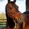 Caption: Silverbulletday<br /> Mares at Hill 'n' Dale Farm near Lexington, Ky. on April 13, 2011.<br /> HillnDale1 image964<br /> Photo by Anne M. Eberhardt