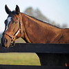 Caption: Zenyatta at Lane's End Farm, early morning on Oct. 5, 2011, near Versailles, Ky.<br /> Origs2 image404<br /> Photo by Anne M. Eberhardt