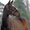Caption: <br /> Zenyatta goes out to her paddock on December 20, 2010, at Lane's End Farm near Versailles, Ky.<br /> ZenyattaDec2010 Origs 3 image373<br /> Photo by Anne M. Eberhardt