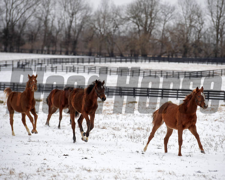 Yearlings at Ashview Farm in Versailles, Ky. on Jan. 13, 2018.