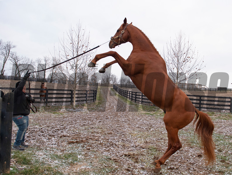 Daily antics includie playfully rearing before going into his paddock. At 8 am Country House is lead by Juvencio Escobar to his paddock where he spends the day,  at Blackwood Stables on<br /> Feb. 27, 2020 Blackwood Stables in Versailles, KY.