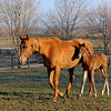 Caption: <br /> Dreaming of Anna and her 2011 colt by Medaglia d'Oro (born Feb. 21, 2011) at Dr. Gary Priest's Woodspring Farm near Versailles, Ky. on March 2, 2011.<br /> TTLBLOG photos Dreaming of Anna image794<br /> Photo by Anne M. Eberhardt