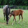 Photo  of mother and foal at the Haras Du Thenney near Deauville.