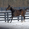 Caption: <br /> Zenyatta goes out to her paddock on December 20, 2010, at Lane's End Farm near Versailles, Ky.<br /> ZenyattaDec2010 Origs 3 image447<br /> Photo by Anne M. Eberhardt