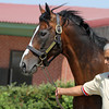 Powerscourt at the Karacabey Stud in Turkey on July 21, 2012<br /> Photo by Michele MacDonald