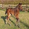 The first foals by track record-breaking sprinter Bated Breath (Dansili) are on the ground. The first, a bay filly out of Precious Secret (Fusaichi Pegasus), was born at Barton Stud on 11th January.<br /> Thoroughbred Photography/Trevor Jones.