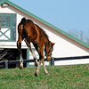 Caption: kicking her heels up!<br /> Lotta Kim produced a full sister to Rachel Alexandra on Feb. 27, 2011, at Dr. Dede McGehee's Heaven Trees Farm near Lexington, Ky. Photographed on March 12, 2011, the Medaglia d'Oro filly is owned by Dolph Morrison. for Throughthelensblog.com, Blood-Horse and bloodhorse.com<br /> LottaKim Origs1 image 6067<br /> Photo by Anne M. Eberhardt