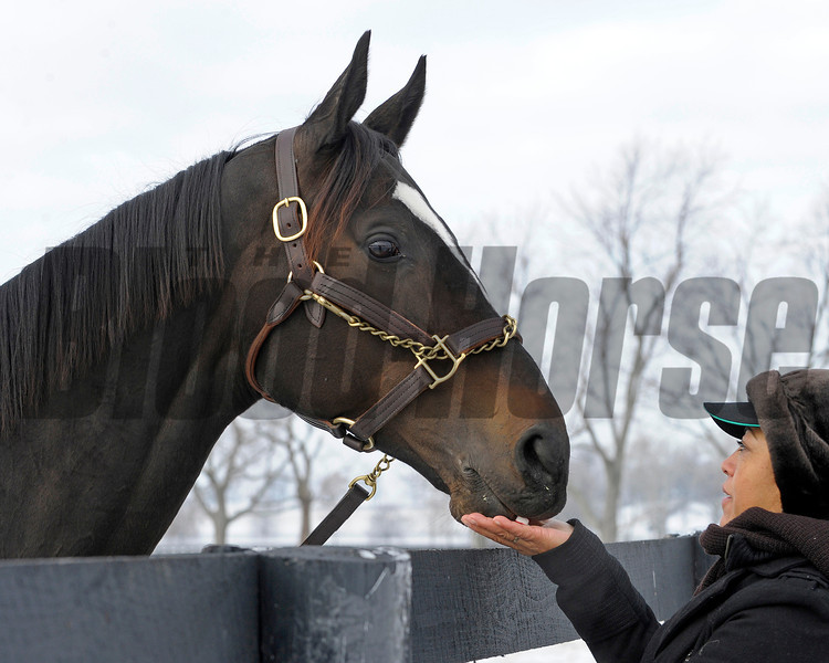 Caption: Zenyatta gets mint from Carmen Zamona.<br /> Zenyatta goes out to her paddock on December 20, 2010, at Lane's End Farm near Versailles, Ky.<br /> ZenyattaDec2010 Origs 3 image634<br /> Photo by Anne M. Eberhardt