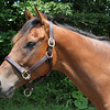 Dubawi Heights, in foal to Deep Impact for 2013, at Shadai Farm, July 2012<br /> Photo by Michele MacDonald