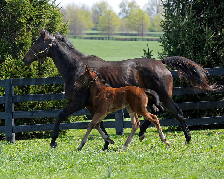 Caption: <br /> Vertigineux, dam of Zenyatta, Balance, and others with her 2011 Henrythenavigator filly born on April 2, 2011, at Ashford Stud near Versailles, Ky. Photographed on  on April 13, 2011.<br /> Vertigineux Image 849<br /> Photo by Anne M. Eberhardt