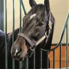 Pioneerof The Nile looks out of his stall in the new WinStar Stallion Barn on December 20, 2013.