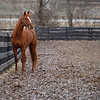 At 8 am Country House is lead by Juvencio Escobar to his paddock where he spends the day,  at Blackwood Stables on<br /> Feb. 27, 2020 Blackwood Stables in Versailles, KY.