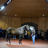 Caption: Congrats being shown by Tony Cecil in the new WinStar stallion complex, Feb. 9, 2013, near Versailles, Ky.<br /> An opportunity to visit the new stallion complex at WinStar Farm near Versailles, Ky., was held on Feb. 9, 2013.<br /> Photo by Anne M. Eberhardt