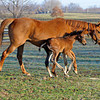 Caption: <br /> Dreaming of Anna and her 2011 colt by Medaglia d'Oro (born Feb. 21, 2011) at Dr. Gary Priest's Woodspring Farm near Versailles, Ky. on March 2, 2011.<br /> TTLBLOG photos Dreaming of Anna image755<br /> Photo by Anne M. Eberhardt