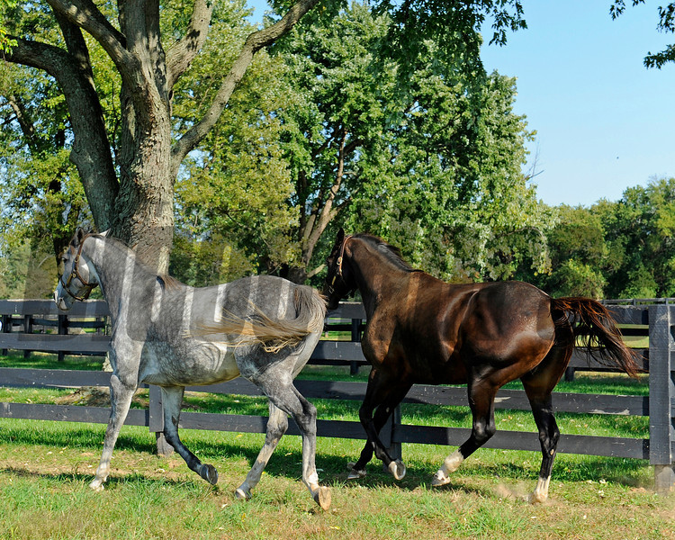 Caption: Zenyatta at Lane's End Farm, mid afternoon on Oct. 5, 2011, near Versailles, Ky.<br /> Origs3 image307<br /> Photo by Anne M. Eberhardt