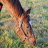 Caption: eating grass<br /> Zenyatta at Lane's End Farm, early morning on Oct. 5, 2011, near Versailles, Ky.<br /> Origs1 image278<br /> Photo by Anne M. Eberhardt